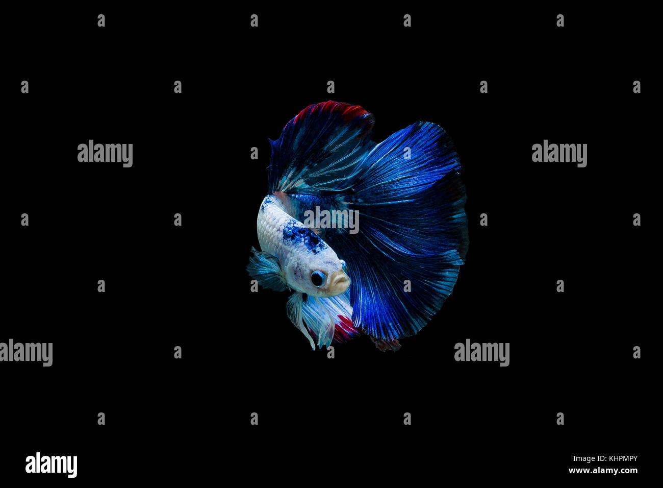 Betta splendens halfmoon,Colorful siamese fighting fish,Fighting fish on black background, - Stock Image