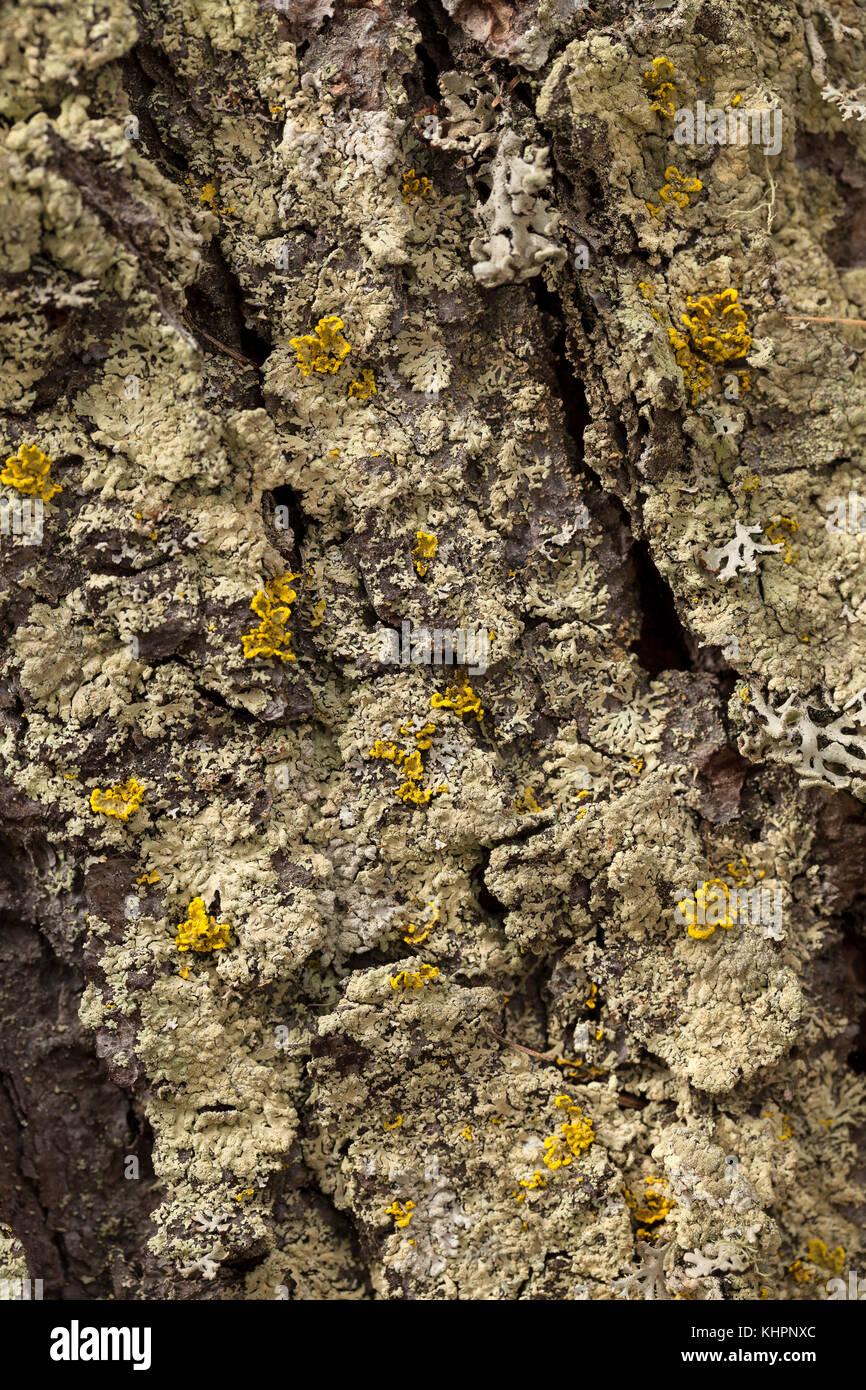 Ambiguous Bran Lichen (Parmeliopsis ambigua, green) and Powdered sunshine lichen (Cetraria pinastri, yellow), trunk - Stock Image