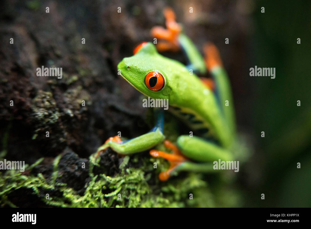 Red eyed tree frog, Agalychnis callidrias curious treefrog in rainforest Costa Rica, Central America. Stock Photo