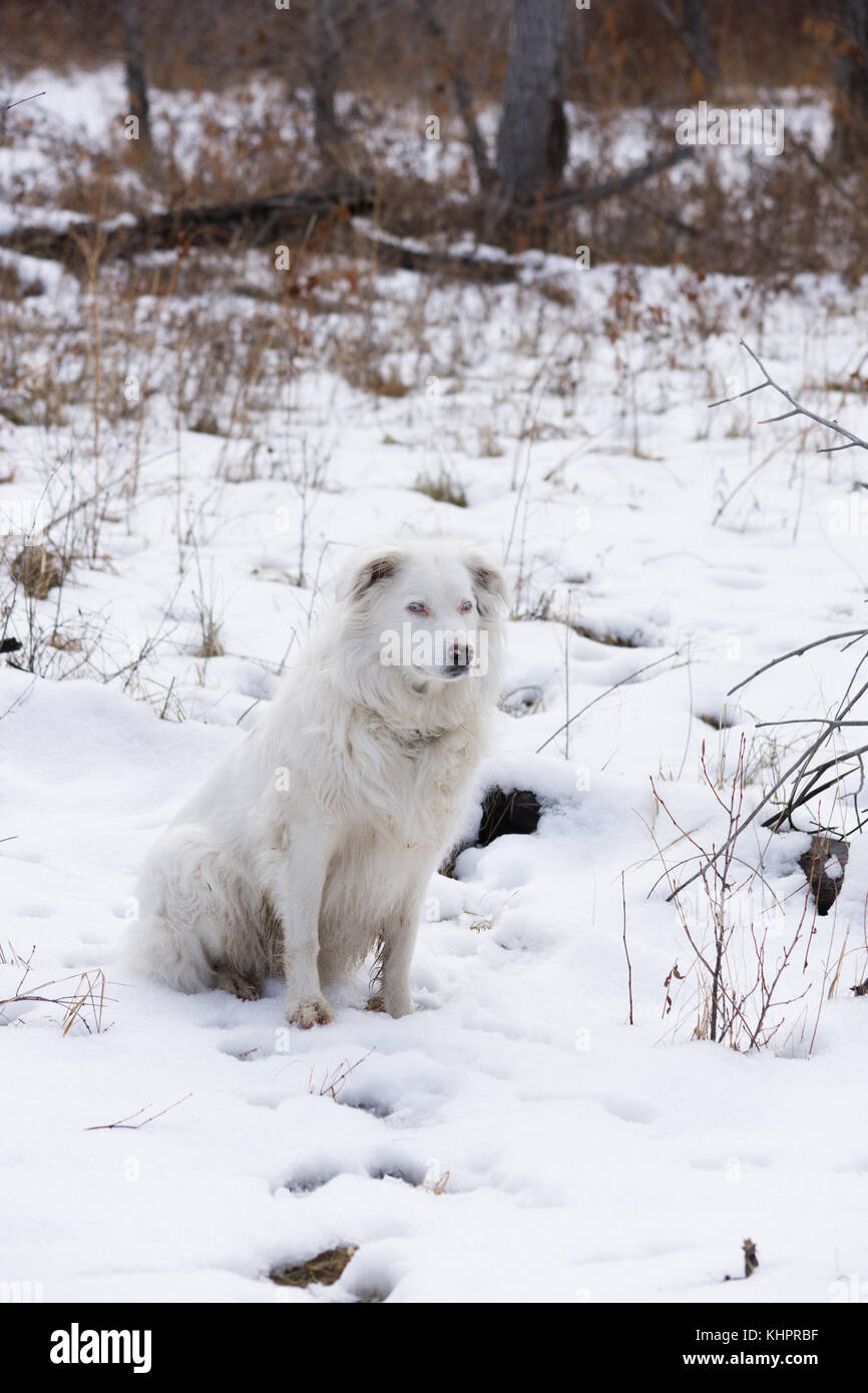 A white and black Australian shepherd dog sitting in the snow. Dried grass and vegetation poke through the snow. - Stock Image
