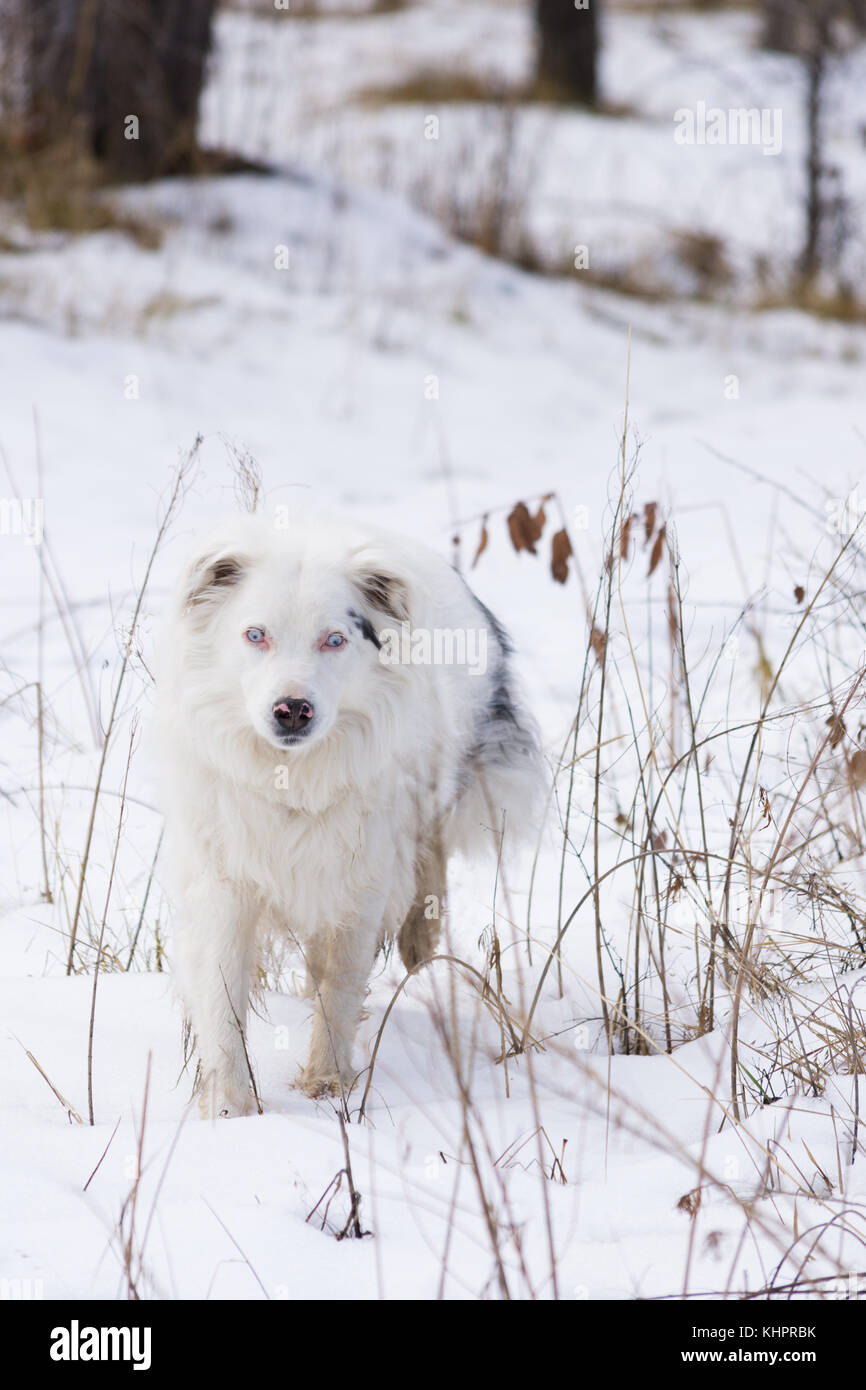 A white and black Australian Shepherd walking toward the camera through snow. Her blue eyes are opaque causing blindness. - Stock Image