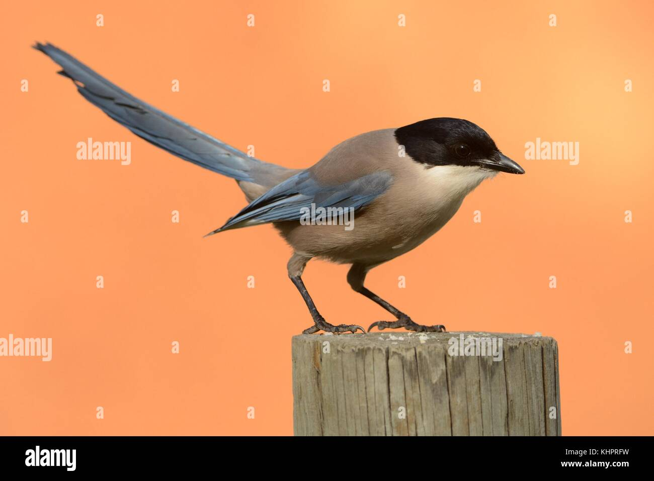 Azure-winged Magpie (Cyanopica cyanus) perched on a pale with orange backround. - Stock Image