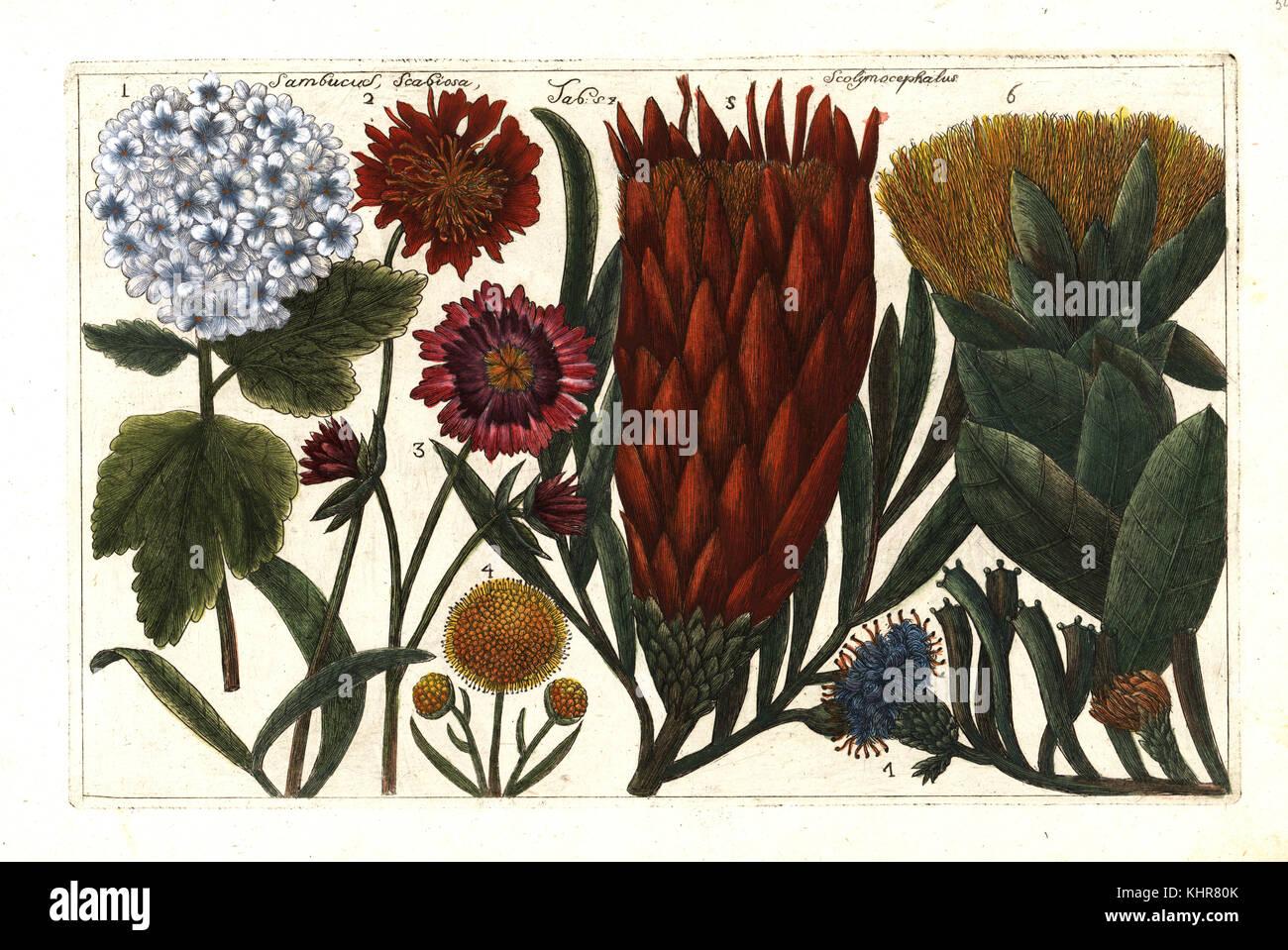 Guelder-rose, Viburnum opulus 1, red scabious, Scabiosa peregrina 2, mountain scabious, Pterocephalus dumetorum - Stock Image