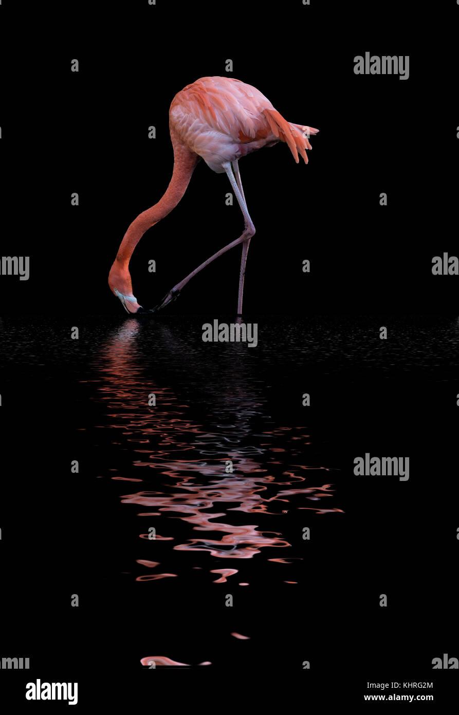 Beautiful image of Caribbean Flamingo Phoenicopterus Ruber reflected in lake Stock Photo