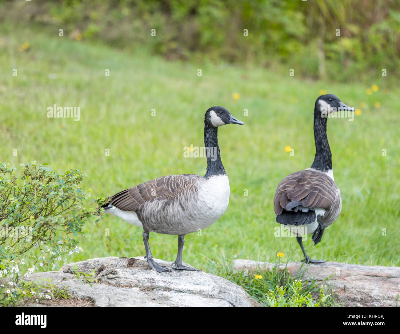 pair of canadian geese in North Haven ny - Stock Image