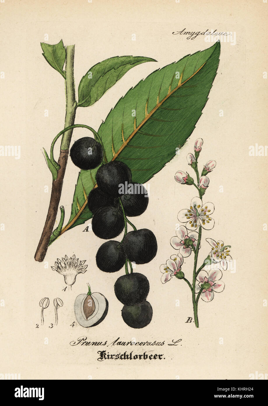 Cherry laurel, Prunus laurocerasus. Handcoloured copperplate engraving from Dr. Willibald Artus' Hand-Atlas - Stock Image