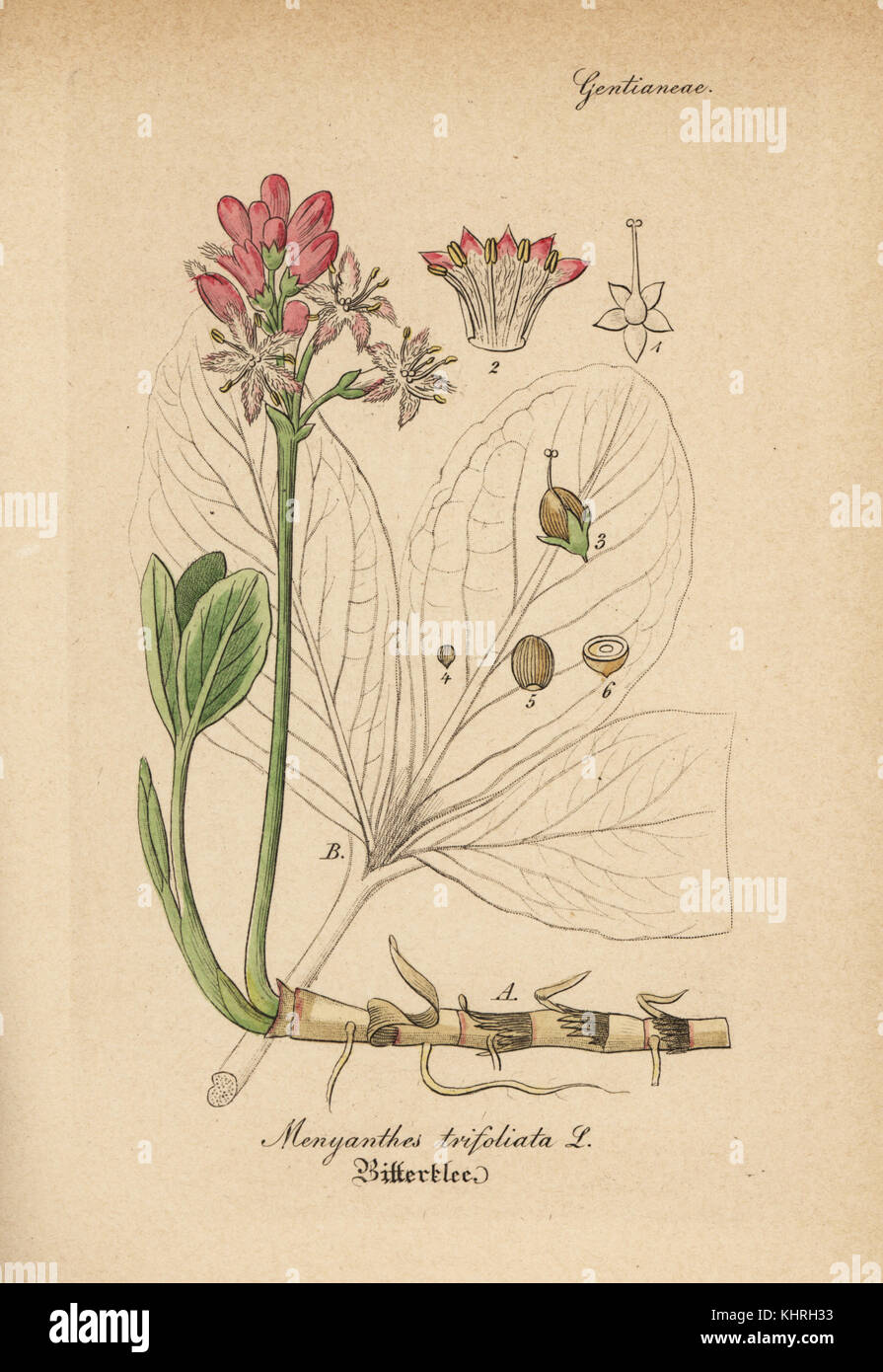 Buckbean or bogbean, Menyanthes trifoliata. Handcoloured copperplate engraving from Dr. Willibald Artus' Hand - Stock Image
