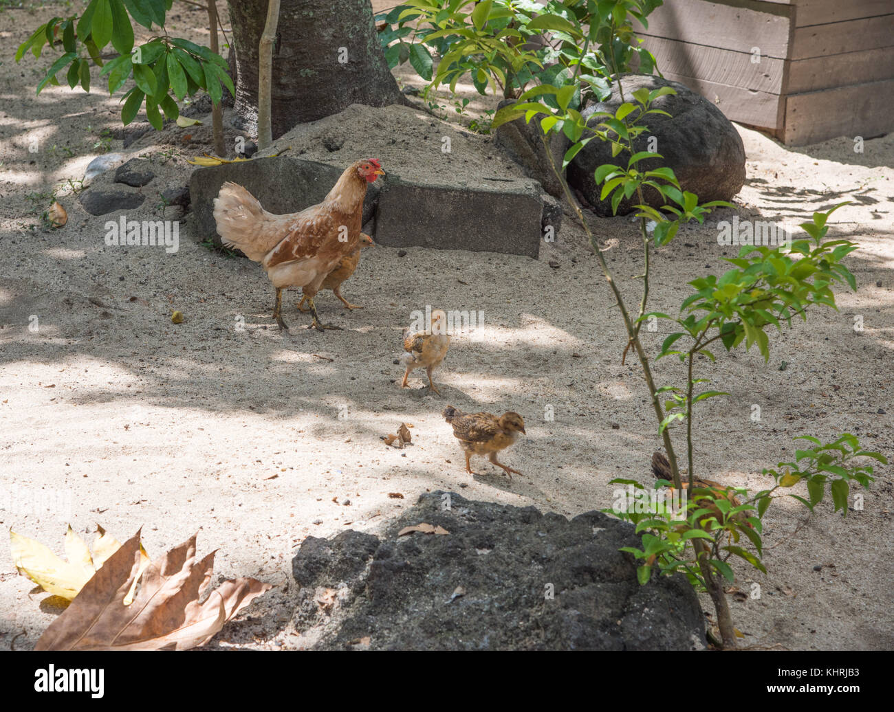 Mother hen and her babies roaming free on sandy ground on Dravuni Island, Fiji Stock Photo