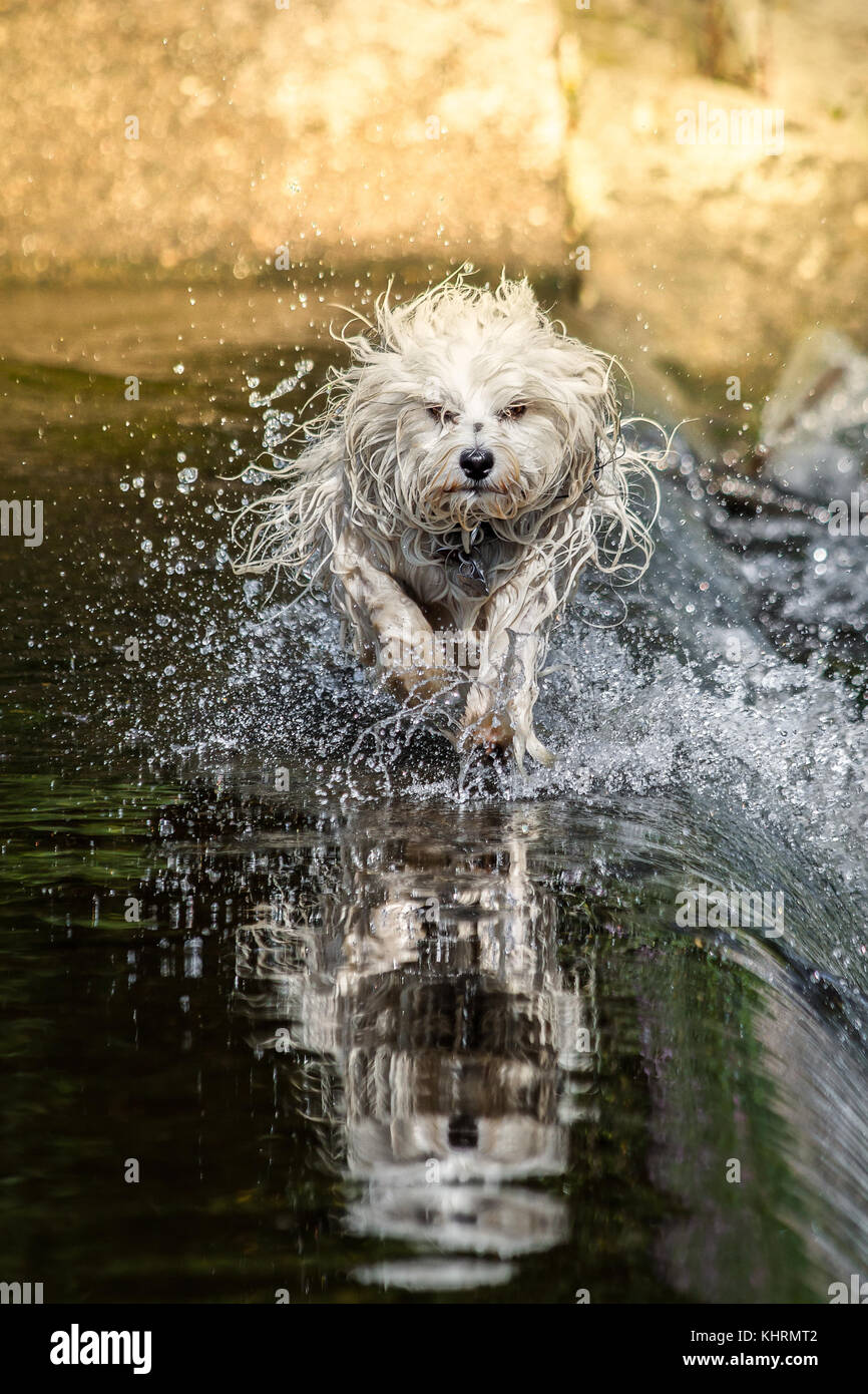 Small White Long Haired Dog Runs Through The Water While The