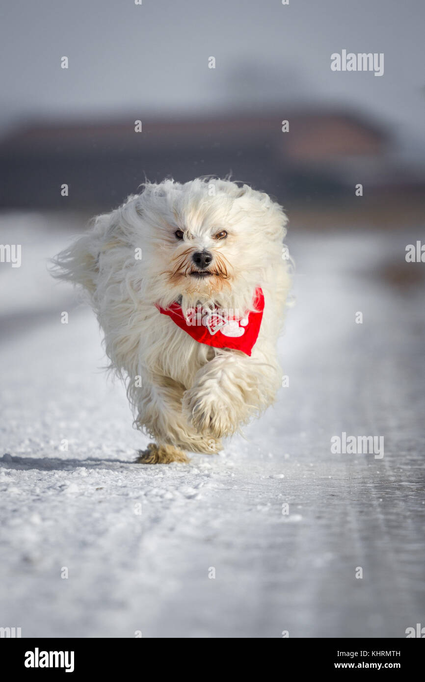 Small white Havanese with red collar rotates so on properly. - Stock Image
