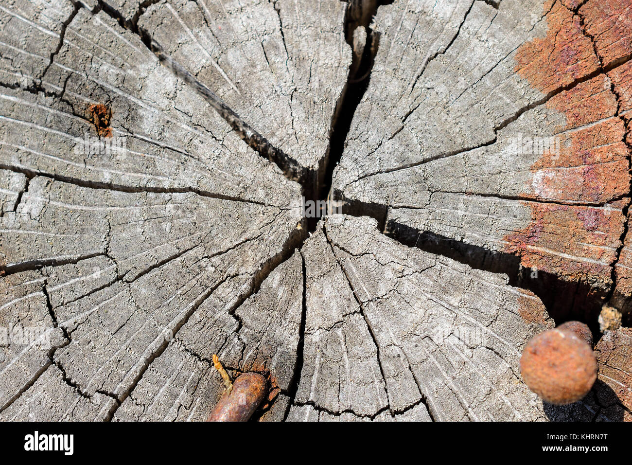 Close-Up Of Growth Rings And Radial Splits On The End Of A Log With Rusty Nails Stock Photo