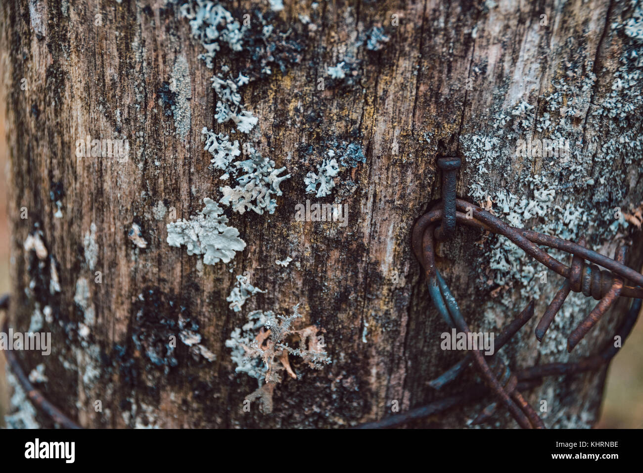 Close-Up Of Reindeer Moss Lichen Or Cladonia Rangiferina Growing On Old Wooden Fence Post With Rusty Nails - Stock Image