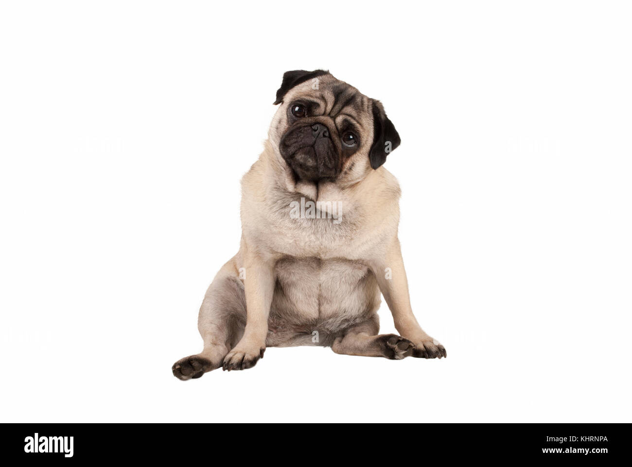 funny cute pug puppy dog, sitting down, looking amazed, isolated on white background - Stock Image