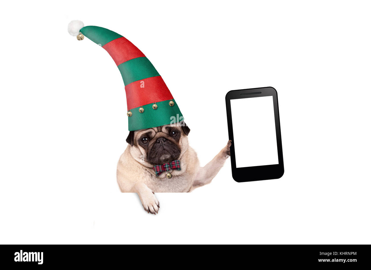 Christmas pug puppy dog with red and green elf hat holding up blank tablet or mobile phone, hanging on white banner, - Stock Image