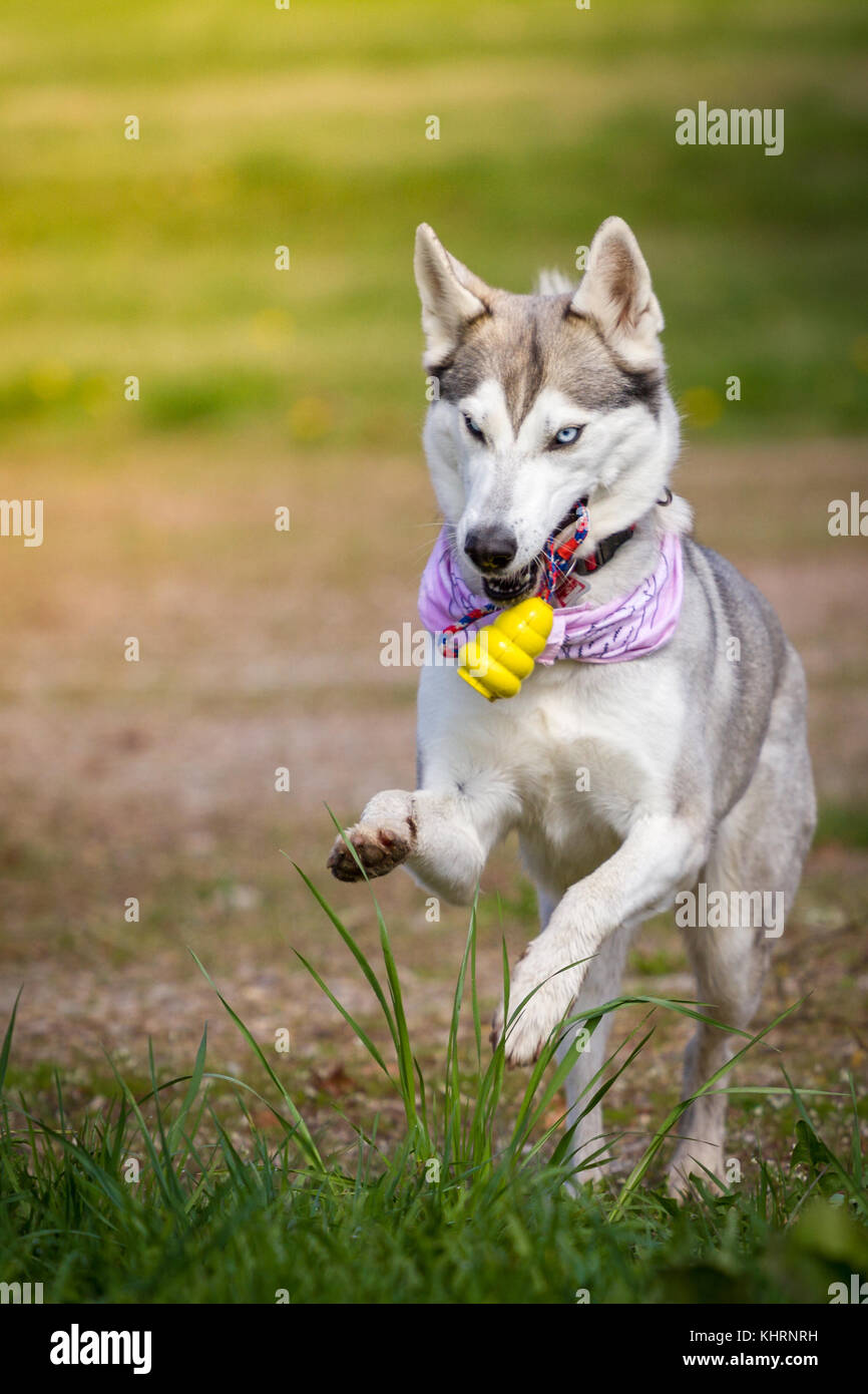 Husky lady retrieves her yellow toy. - Stock Image