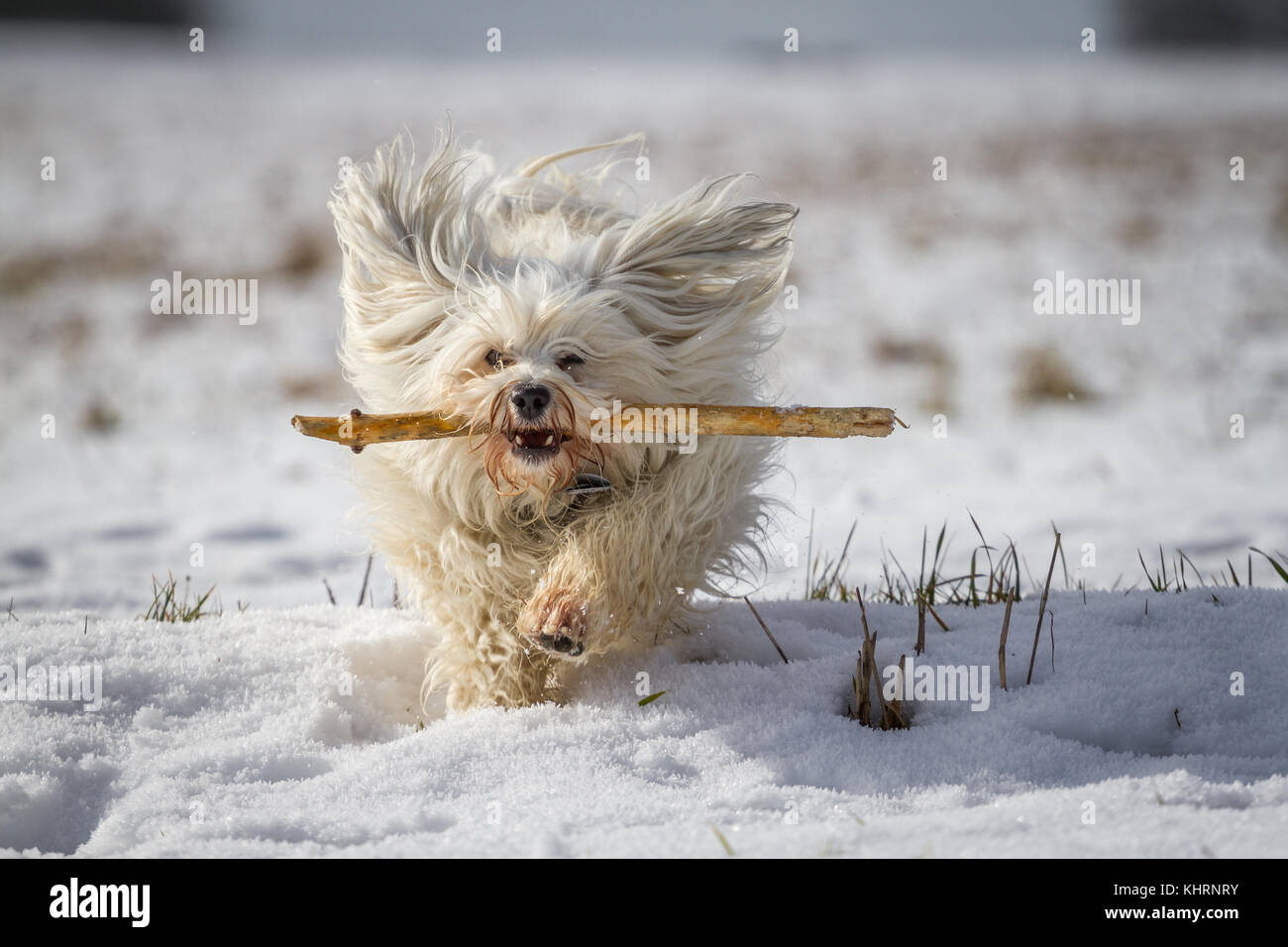 A white small dog retrieves a stick in the snow. - Stock Image
