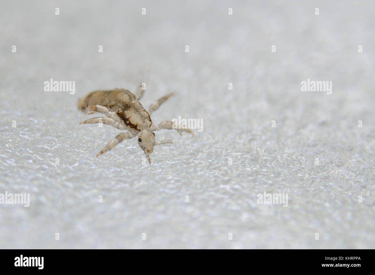 Head louse. Ectoparasite sucking human blood. Head lice. - Stock Image