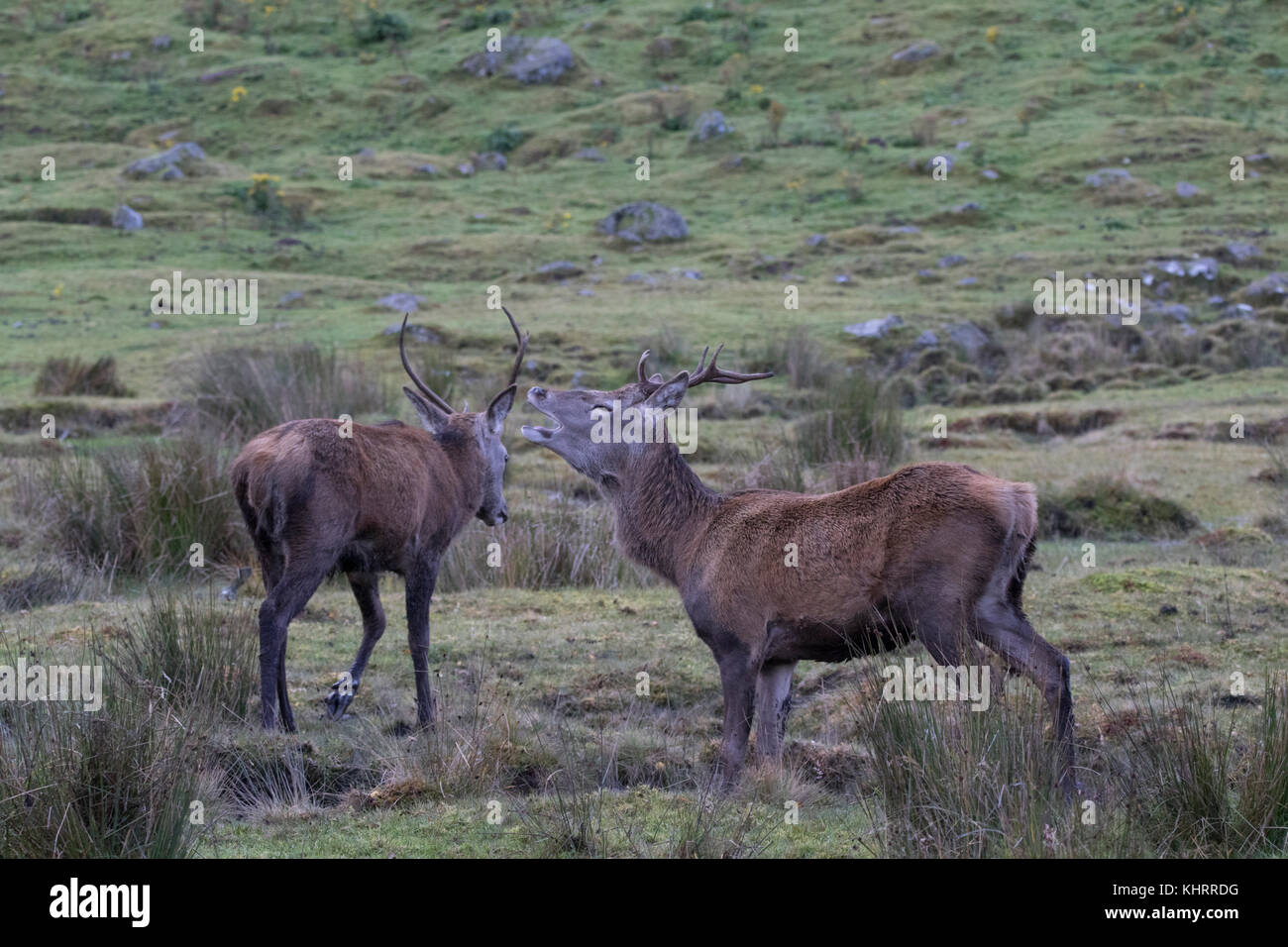 Red deer, Cervus elaphus, stag, hind, herd, during rutting season in autumn within the cairngorm national park, Stock Photo
