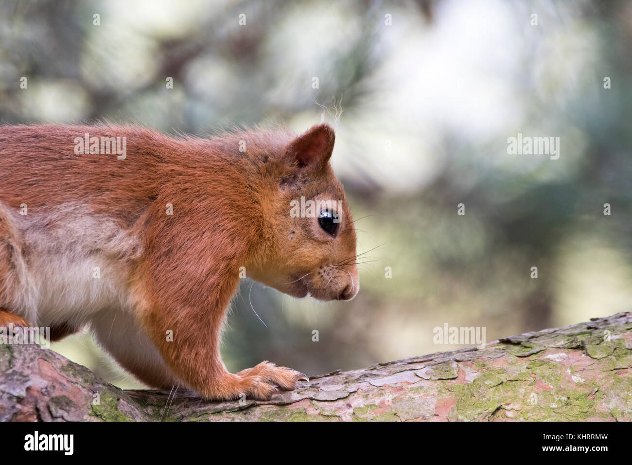 red squirrel, Sciurus vulgaris, euroasian, close up portrait amongst pine woodland and feeders near Lossiemouth, - Stock Image