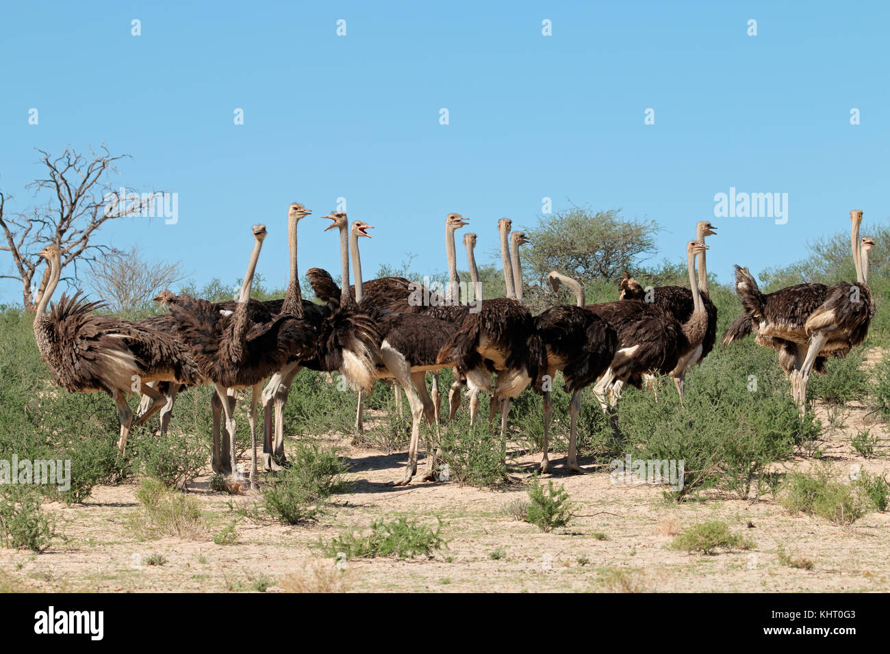 Group of ostriches (Struthio camelus) in natural habitat, Kalahari desert, South Africa - Stock Image