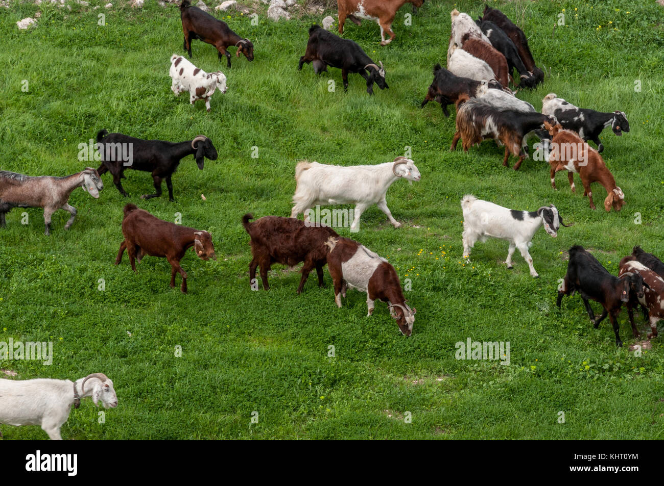 A herd of goats in a green field - Stock Image