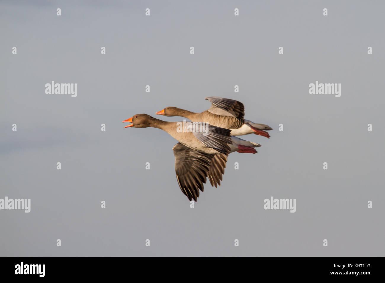 A flock of Greylag Geese (Anser anser) in flight - Stock Image