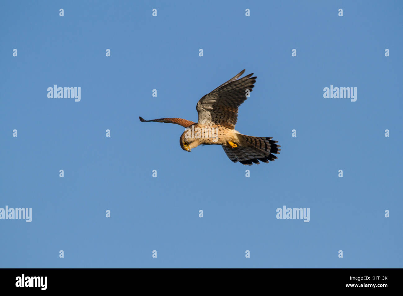 A female Common Kestrel (Falco tinnunculus) also known as just Kestrel hovering in search of prey. Stock Photo