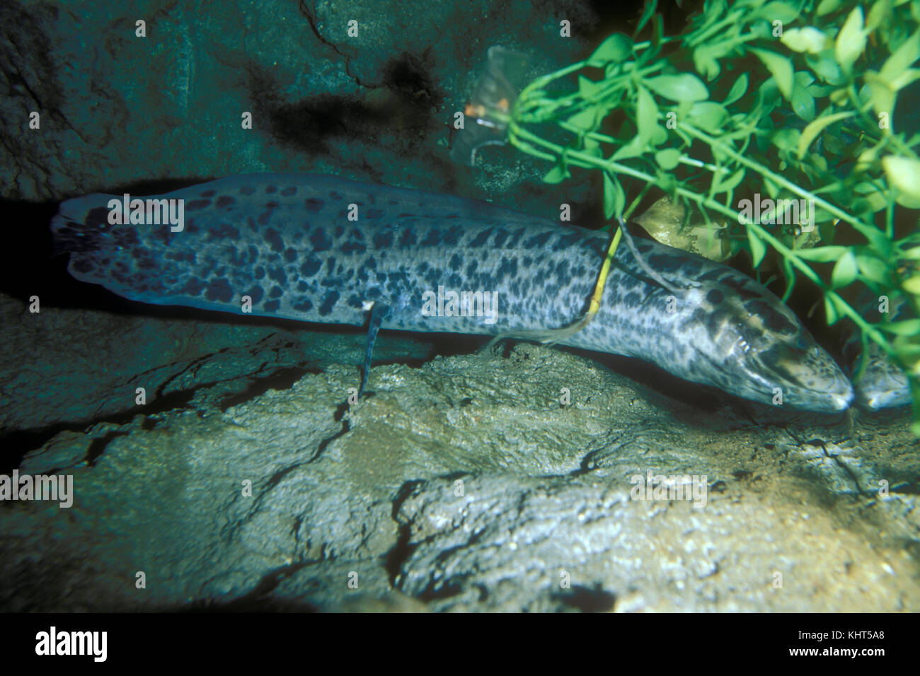 African Lungfish, Protopterus annectens - Stock Image