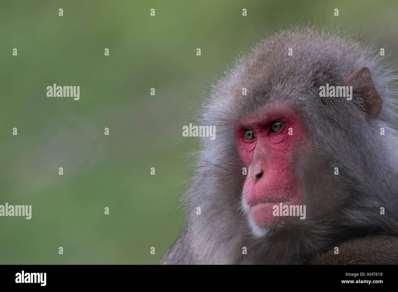 snow monkeys, Japanese macaque, Macaca fuscata, captive, young, old, close up portraits alone and in family group Stock Photo