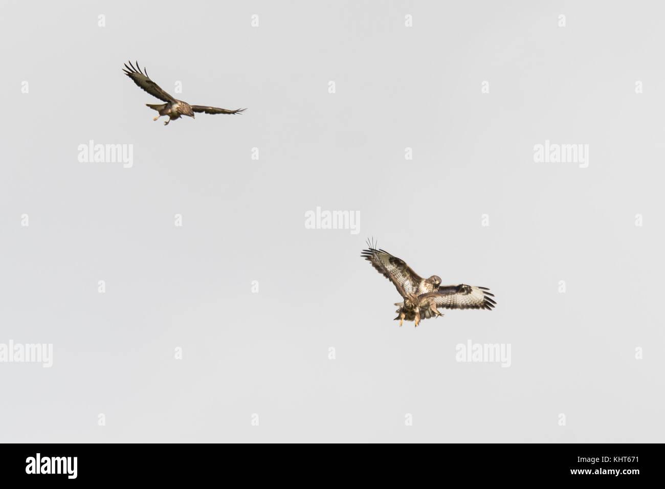 Pair of buzzards (Buteo buteo) attacking juvenile intruder. Territorial birds of prey engaging unwelcome trespasser - Stock Image