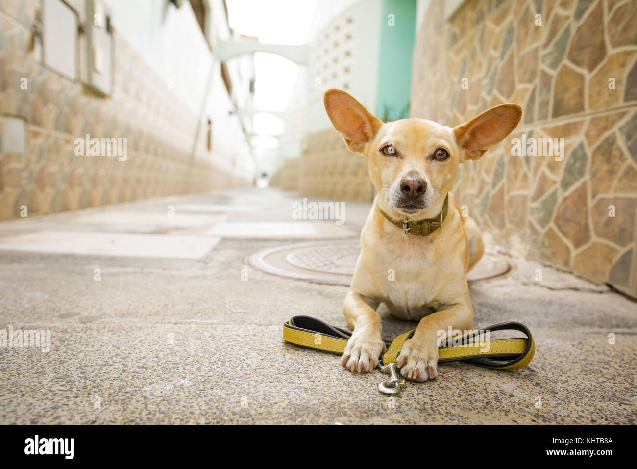 chihuahua dog waiting for owner to play  and go for a walk with leash outdoors - Stock Image