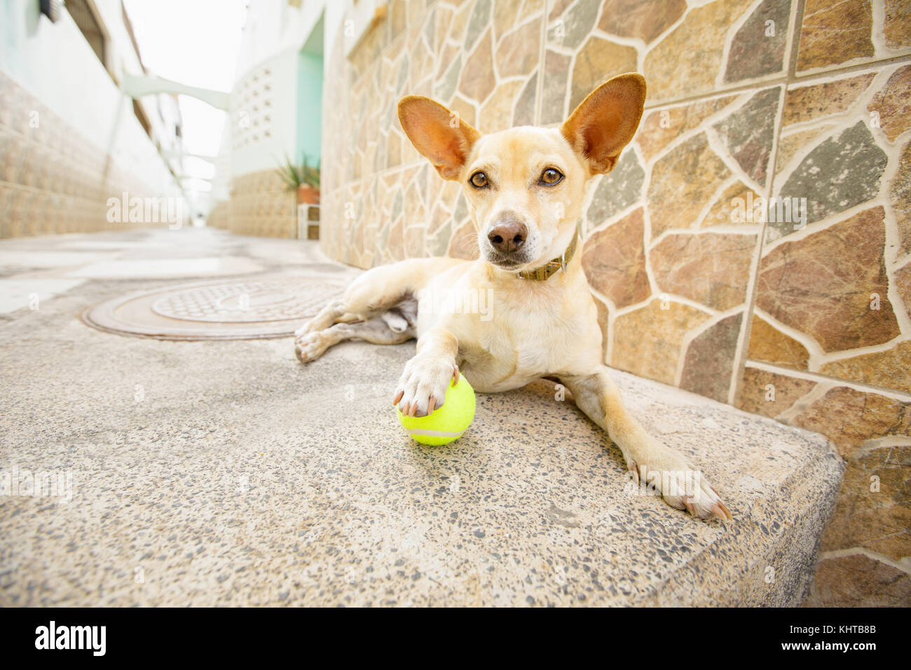 chihuahua dog waiting for owner to play with toy ball and go for a walk with leash outdoors - Stock Image