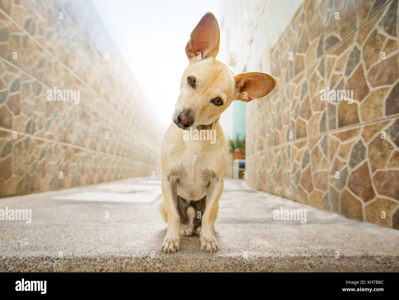 curious chihuahua dog waiting for owner to play  and go for a walk with leash outdoors - Stock Image