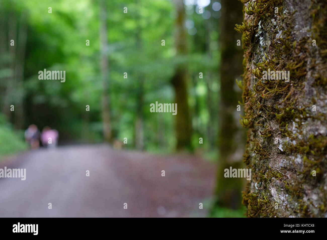 Tree with moos at a hiking trail with blurred hikers in a green forest - Stock Image
