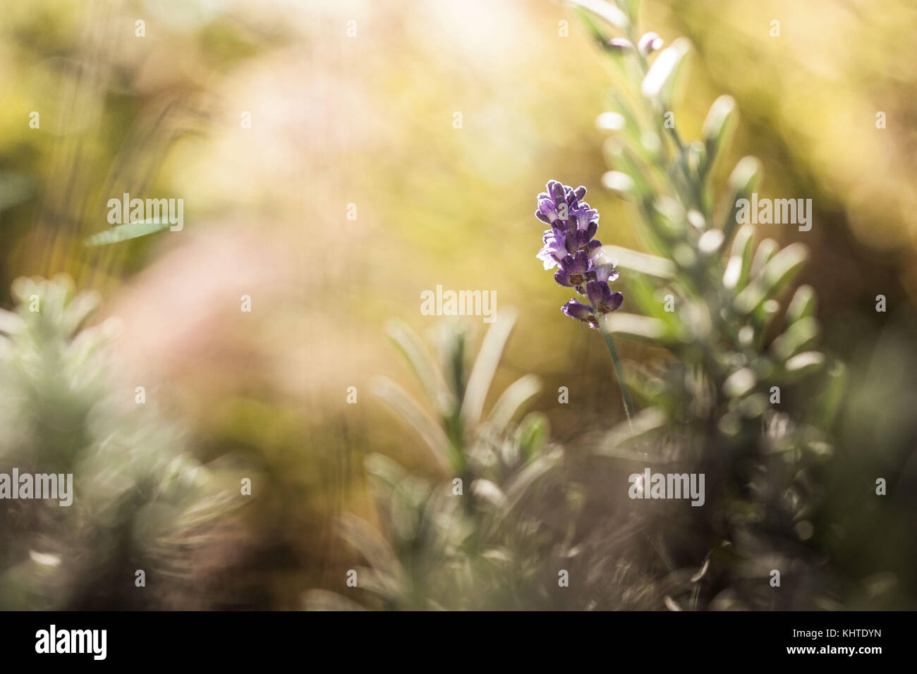Lavender, Lavandula flowers with bokeh in the background. Unfocused background with warm colours - Stock Image