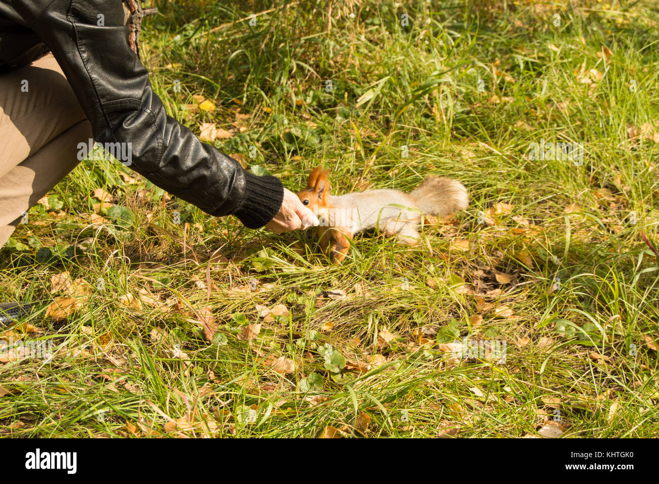 Girl feeds a grey squirrel with a fluffy tail in autumn Park. - Stock Image