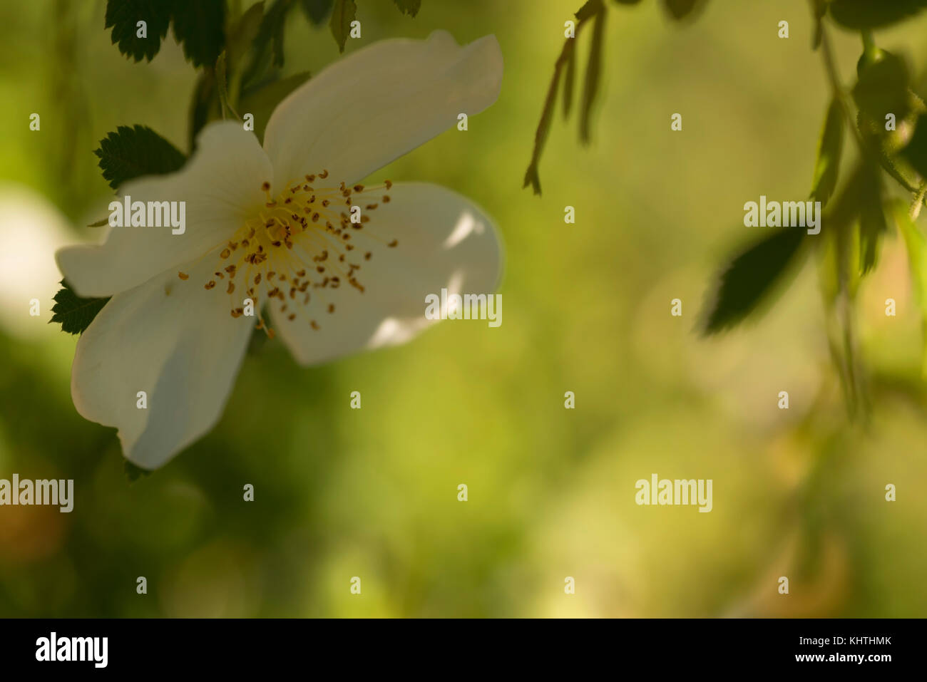 Sweet dreamy white wild rose with four petals in dappled shade with yellow green sunlit bokeh filled negative space - Stock Image