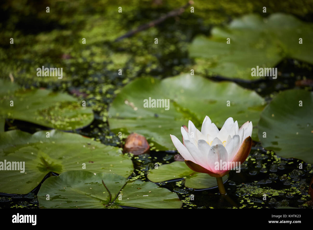 Lily Pads And Nymphaea Plants Known By Its More Common Name Of A