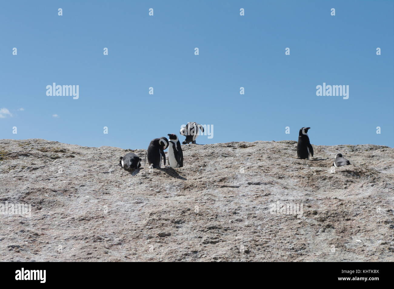 Jackass penguins on boulder Stock Photo