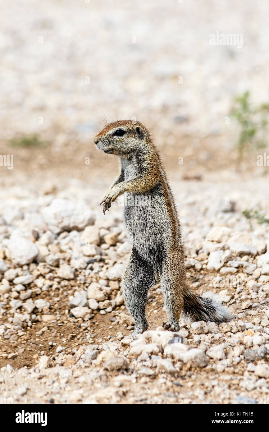 African Ground Squirrel, Xerus - Stock Image