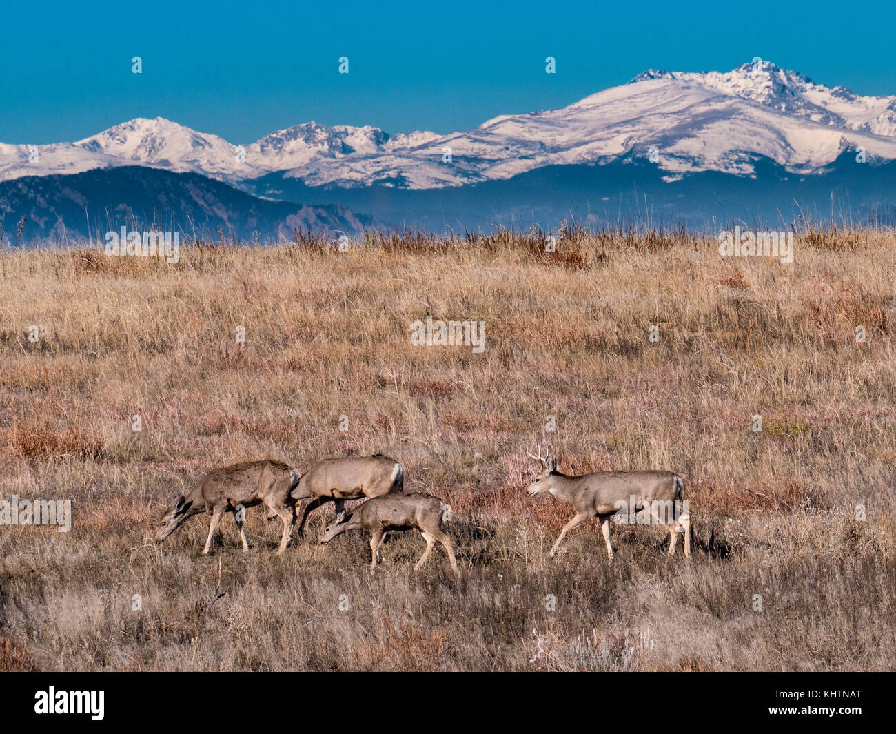 Mule deer, autumn, Rocky Mountain Arsenal National Wildlife Refuge, Commerce City, Colorado. - Stock Image