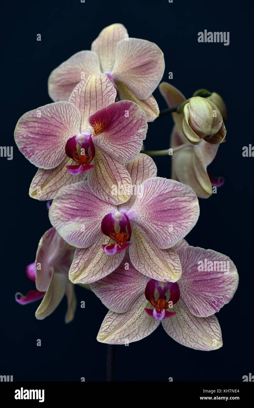 Still life of the Phalaenopsis cultivar orchid - Stock Image