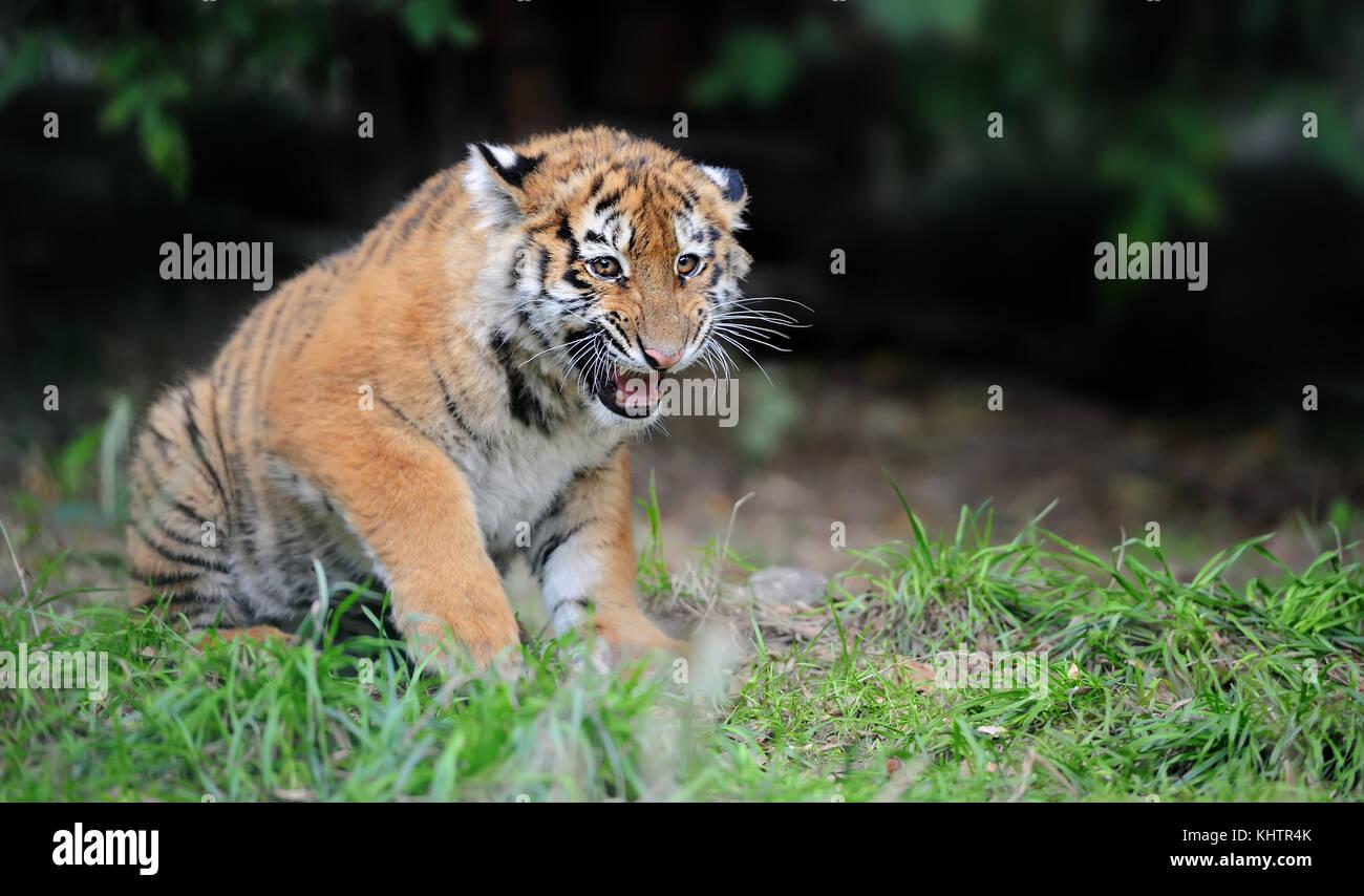 Close up siberian tiger cub in grass - Stock Image
