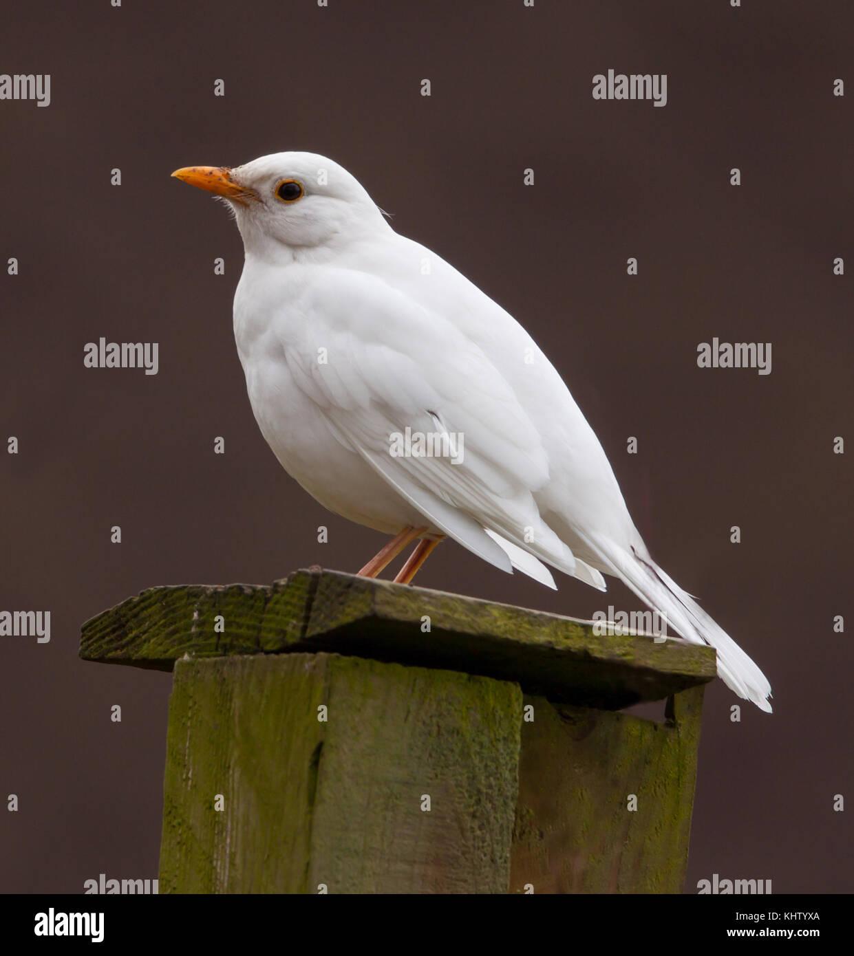 White albino blackbird Stock Photo