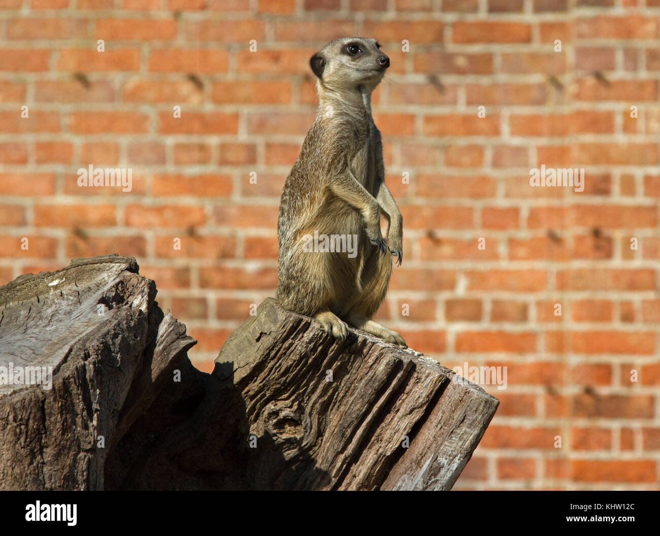 Meerkat (Suricata suricatta) on sentry duty - Stock Image