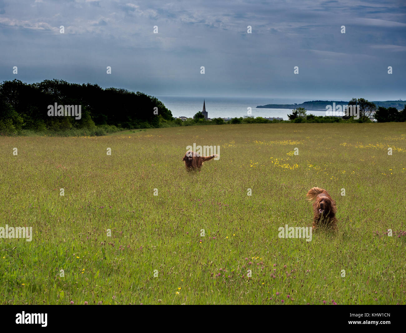 Irish Red Setters enjoying the sunshine in a meadow overlooking Tenby - Stock Image