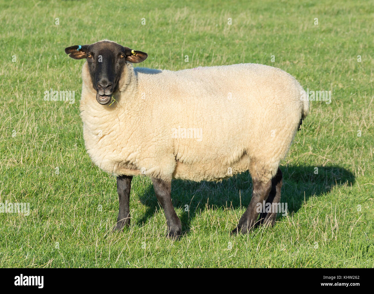 Suffolk sheep in field, Seaford Head Nature Reserve, Seaford, East Sussex, England, United Kingdom - Stock Image