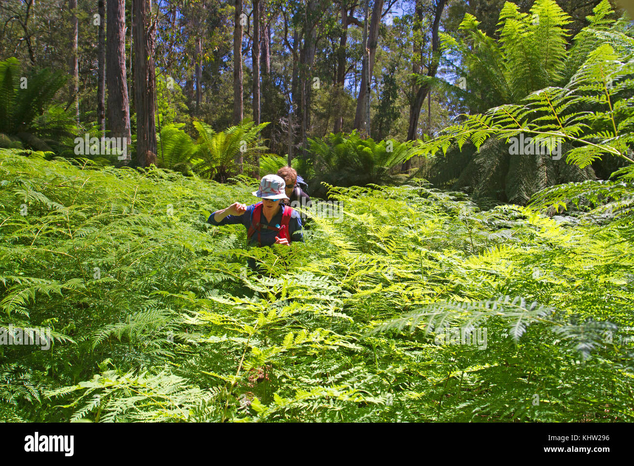 Hikers passing through batwing ferns in the Florentine Valley - Stock Image
