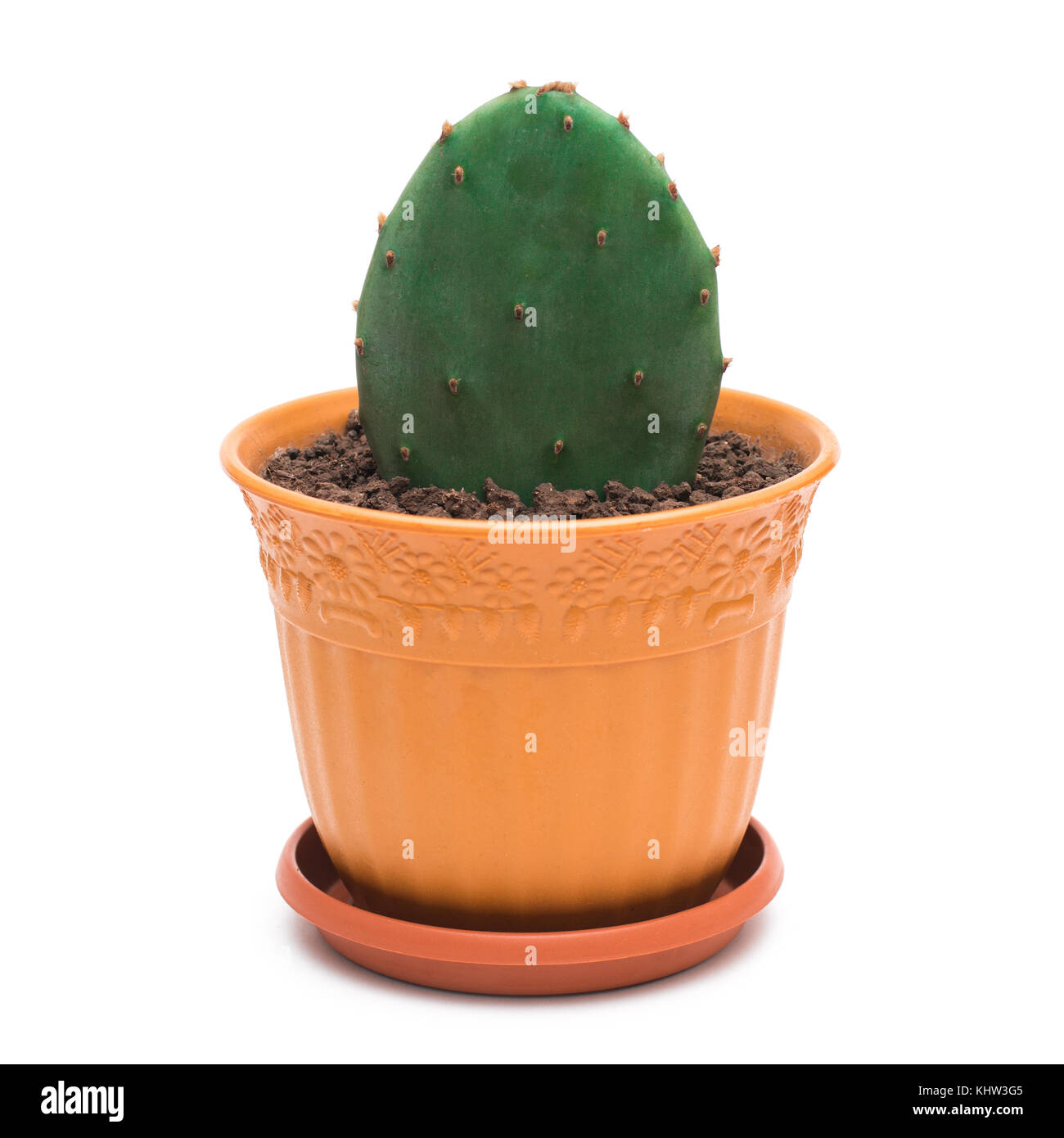 Prickly pear cactus in a pot on white background - Stock Image