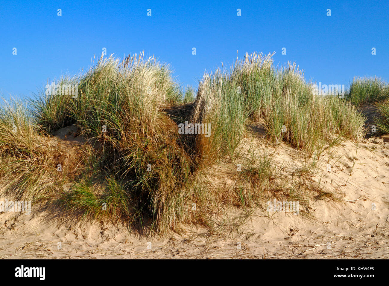 A view of marram grass, Ammophilia arenaria, on sand dunes on the North Norfolk coast at Holkham, Norfolk, England, - Stock Image